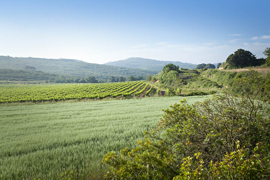 vineyards around Masia Viladellops